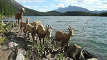 Herd of mountain sheep walking along the edge of a lake at the foot of a mountain range.