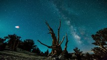 Timelapse of the Milky Way galaxy of stars moving through the night sky behind an bristlecone pine tree.