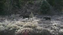 Moose and a calf walking through a field.