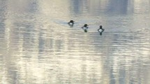 Loons swimming in a pond.