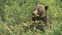 Grizzly bear eating berries.