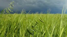 storm clouds over a field of wheat