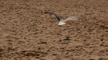 Seagull flying in the sand at the beach.