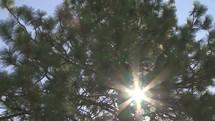 Sun shining through a ponderosa pine tree.
