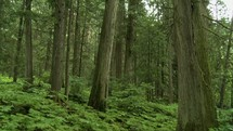Giant cedar trees in a forest with ferns.