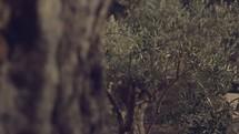 Garden of Gethsemane on the Mount of Olives in Jerusalem.
