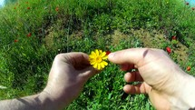 a person pulling the petals off of a yellow flower