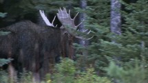 moose walking through a forest
