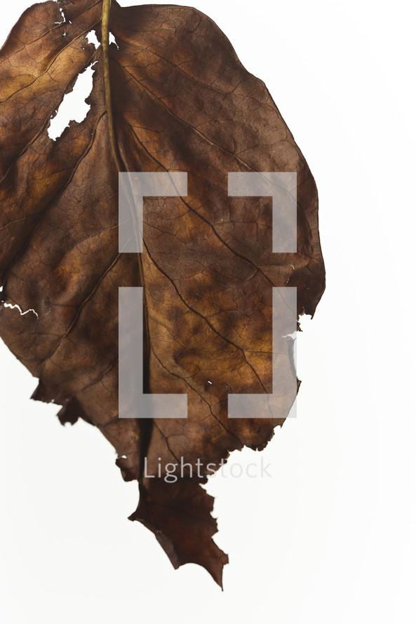 torn dead leaf