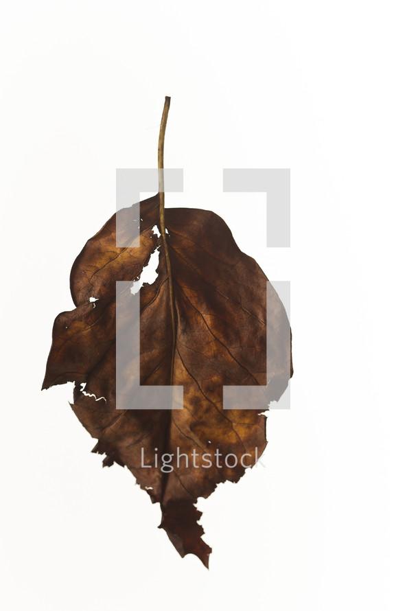 brown, ragged leaf - fall