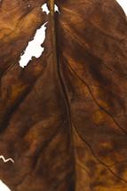 dead torn leaf
