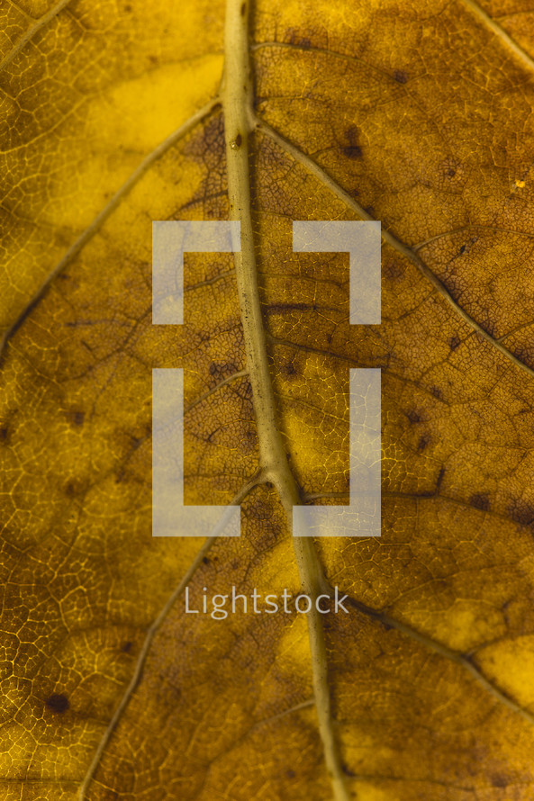 veins of an autumn leaf