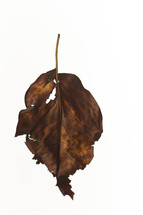brown, ragged leaf - fall