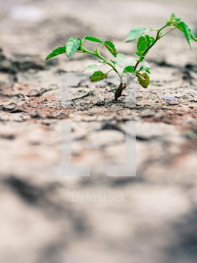 a plant growing in dry soil