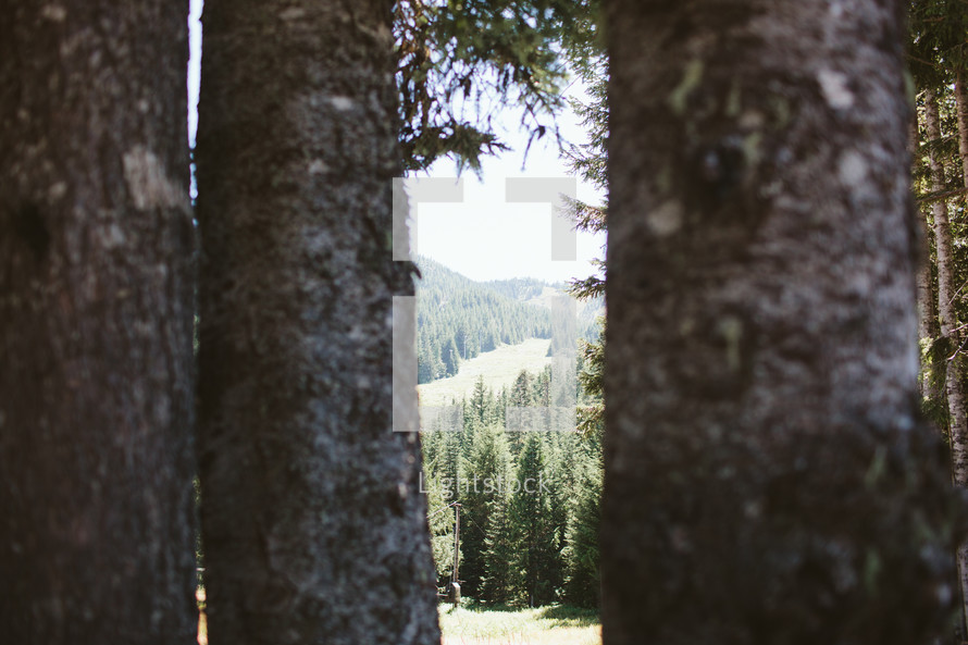 tree trunks in a mountain forest