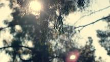 Pinetrees at daybreak.