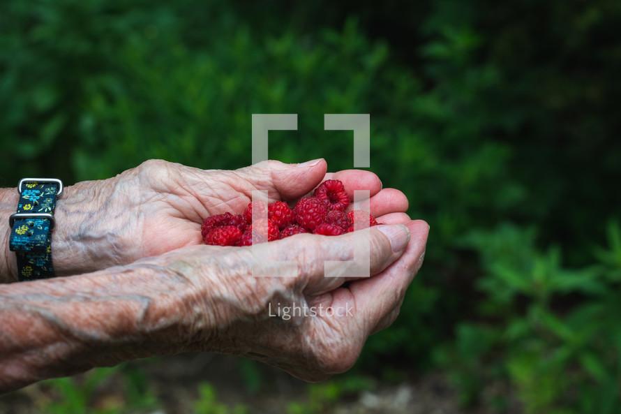 freshly picked raspberries in senior hands