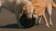 Dogs chewing on a tire.