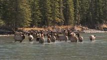 elk in a river