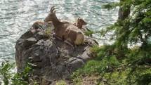 A mountain sheep and lamb resting on a rock by a lake.