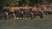 Elk in a river