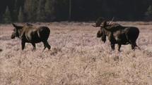 moose walking