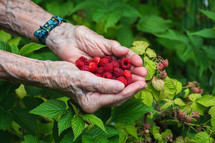 freshly picked raspberries in senior hands