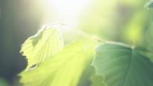 Sun shining on leaves.