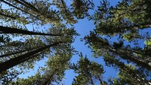 pine forest rotation