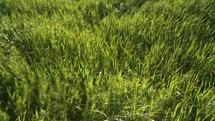 wavy green grass