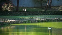 white ducks floating on a pond and people Jogging In The Park