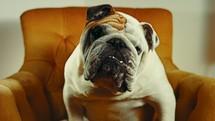 attentive english bulldog listening on an orange chair.