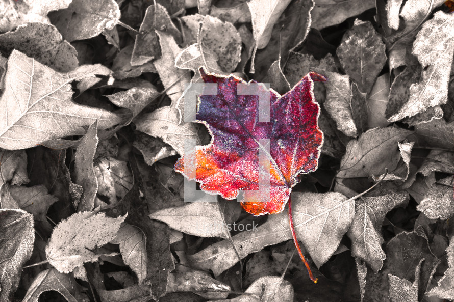 colored fall leaf on gray leaves