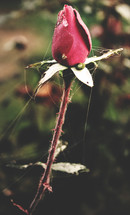 spider web on a red rose bud