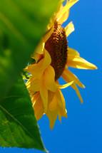 a yellow sunflower against a blue sky