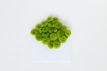 green mums and blank paper on a white background