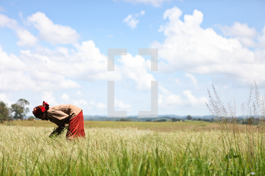 Woman picking wheat in a field