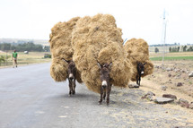 donkeys carrying hay
