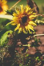 A bright yellow sunflower.